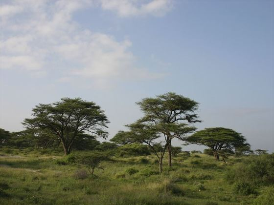 Acacia trees in the Masai Mara