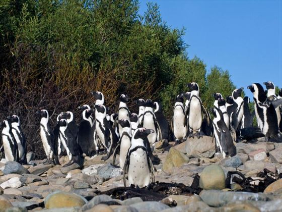 African penguins at Robben Island