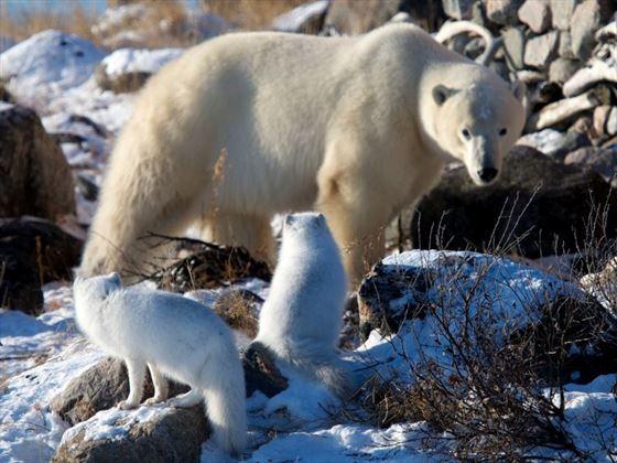 Arctic foxesandpolarbears; CreditLydia Attinger; Churchill Wild