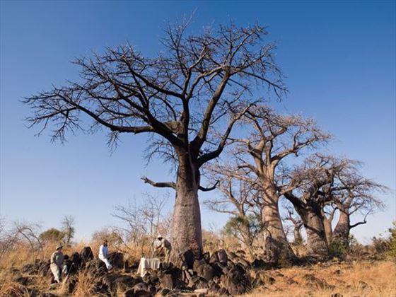 Baobab tree at Savute Under Canvas