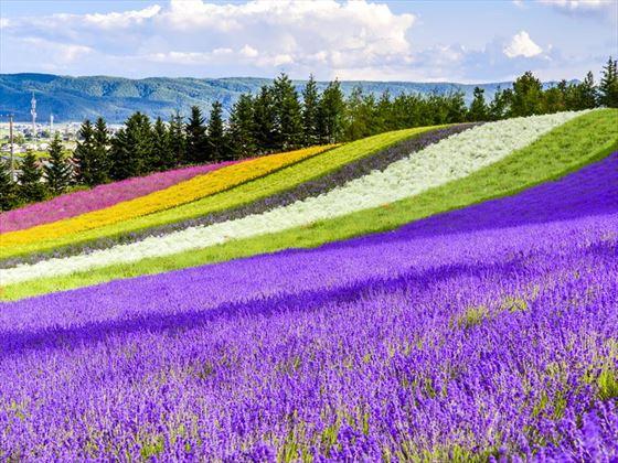 Beautiful flower fields, Hokkaido