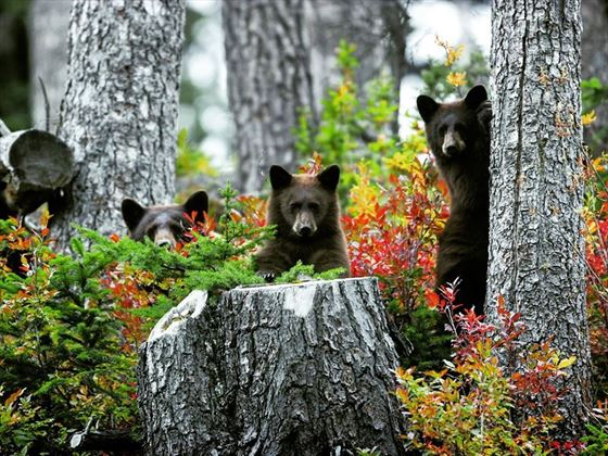 Family of black bears in Whistler