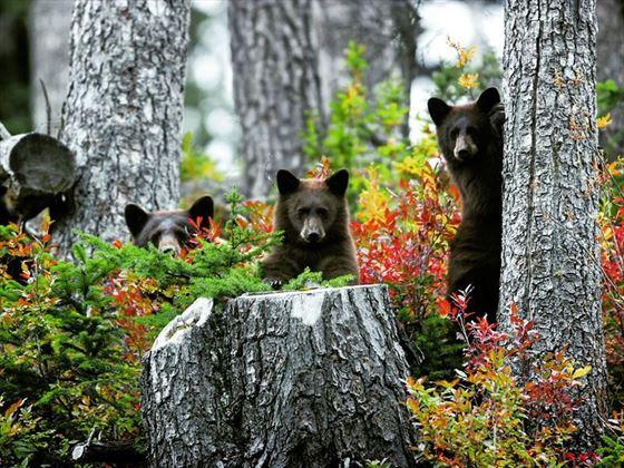 Family of black bears in Whistler