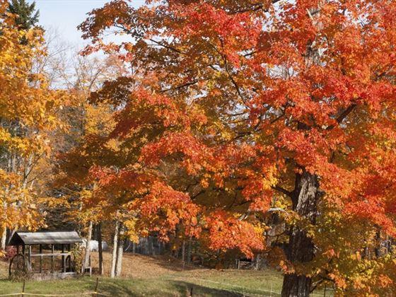 Bright red maple leaves, Marlboro