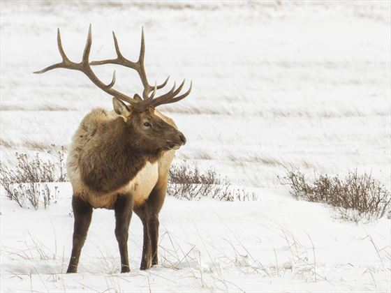 Bull elk in the winter