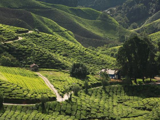 View of the verdant landscape in Cameron Highlands