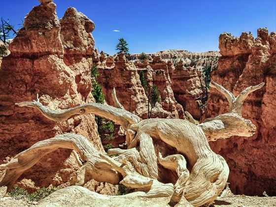 Dead tree and eroded rocks of Bryce Canyon
