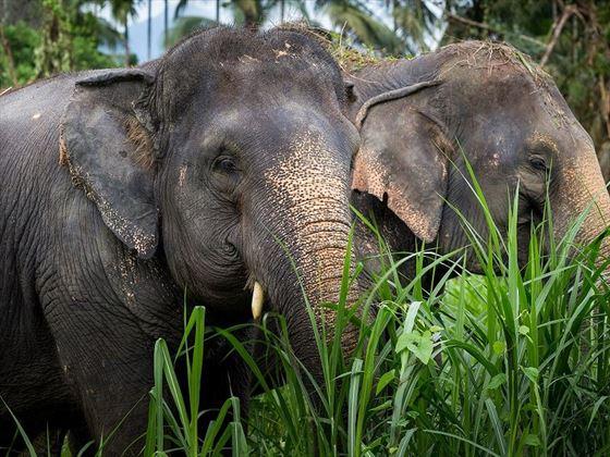 Elephants at Elephant Hills, Khao Sok