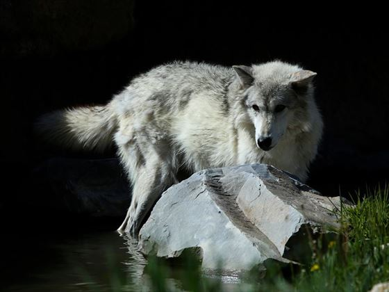 Endangered grey wolf, Yellowstone
