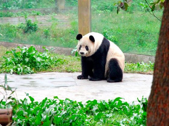Giant panda at Chonquing Zoo