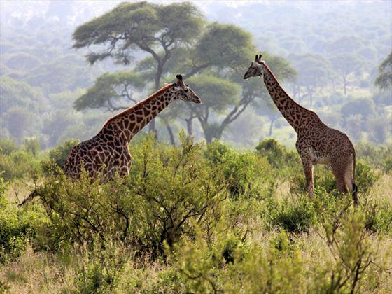 Giraffe at the Serengeti National Park