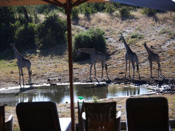 Giraffes at Savute Safari Lodge
