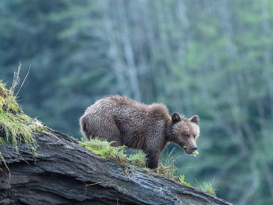 Young bear in the wilderness surrounding Great Bear Lodge