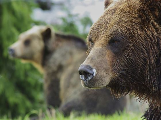 Grouse Mountain grizzlies