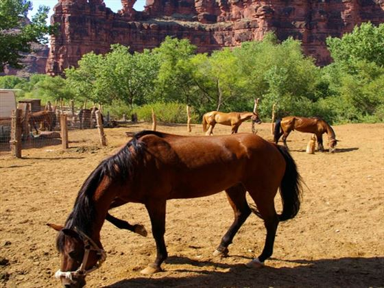 Horses near the Grand Canyon