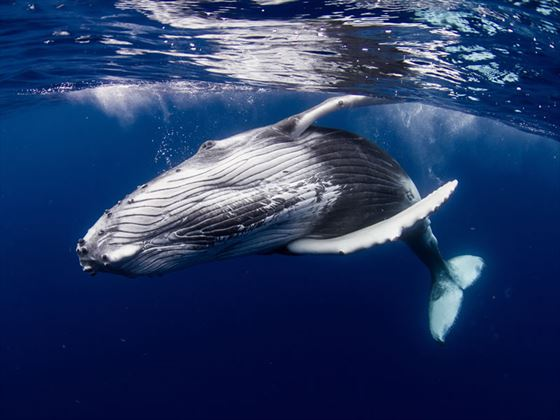 Humpback whale in the waters of Tahiti