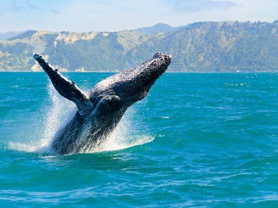 Breached humpback whale, Maui