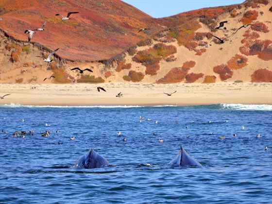 Humbacks in the waters of Monterey