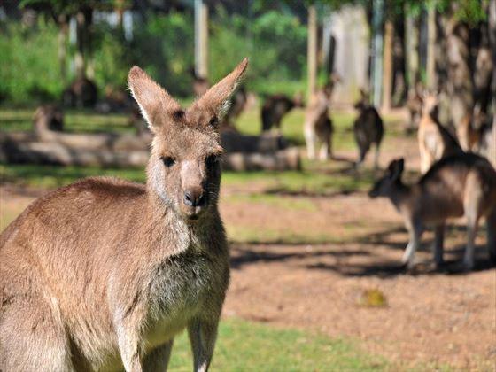 Kangaroo Reserve, Brisbane