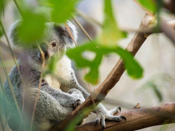 Koala in Brisbane