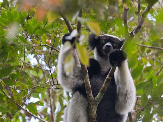 Lemur in Mantadia