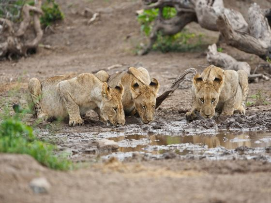 Lion cubs drinking in Madikwe Game Reserve