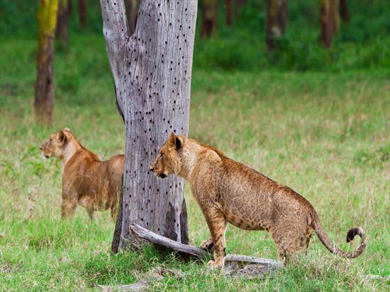 Lions, Lake Nakuru National Park