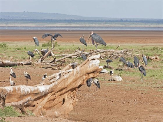 Marabou storks at Lake Manyara National Park