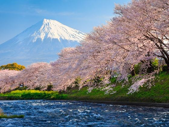 Mount Fuji and cherry blossom