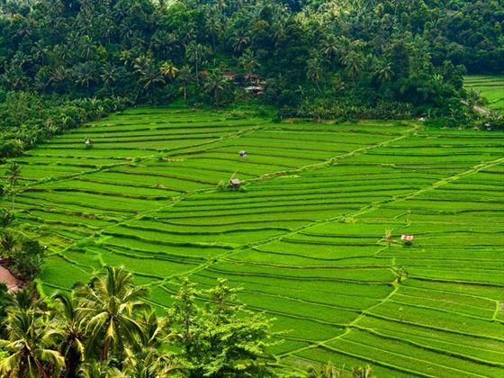 Munduk rice paddies