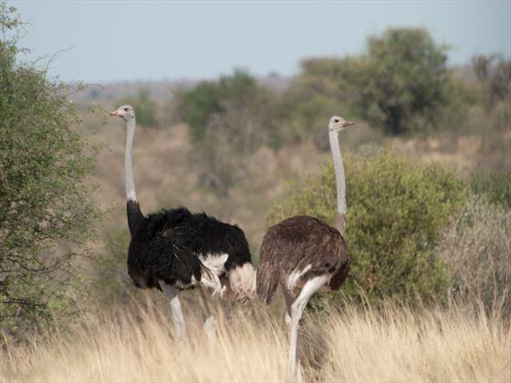 Ostrich in Botswana