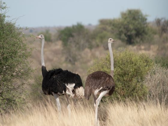 Ostrich, Botswana