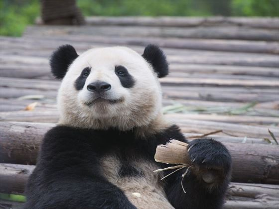 Panda at Chengdu