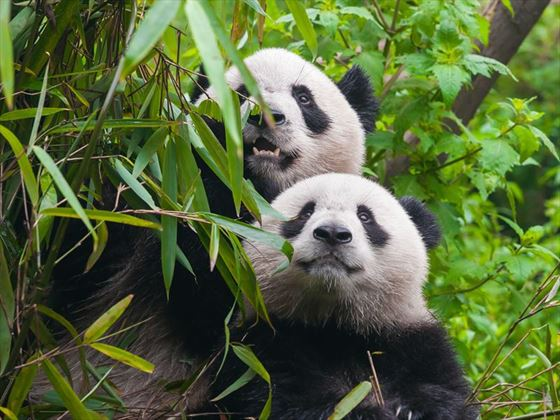 China panda couple in Chengdu