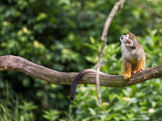 Peruvian squirrel monkey