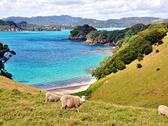Sheep grazing on Urupukapuka Island, Bay of Islands