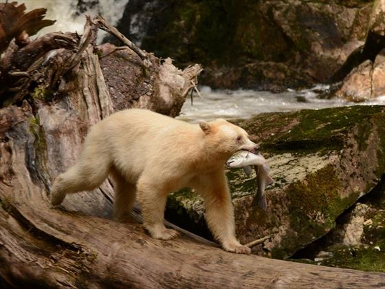 Spirit bear with its catch of the day