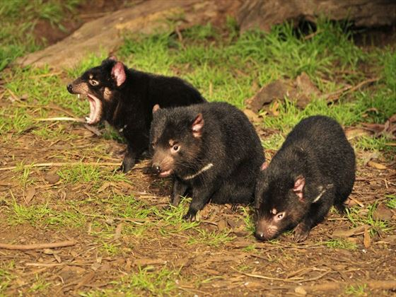 Three Tasmanian Devils