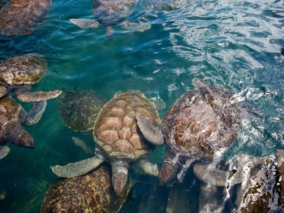 Turtles swimming in the Cayman Islands