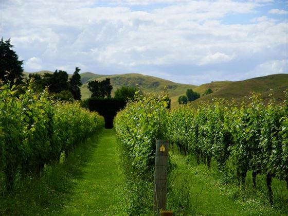 Vineyard in Hawke's Bay