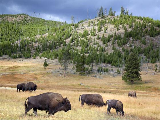 Wild buffalo roam in Yellowstone