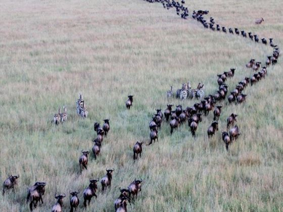Wildebeest migration at Keekorok Lodge