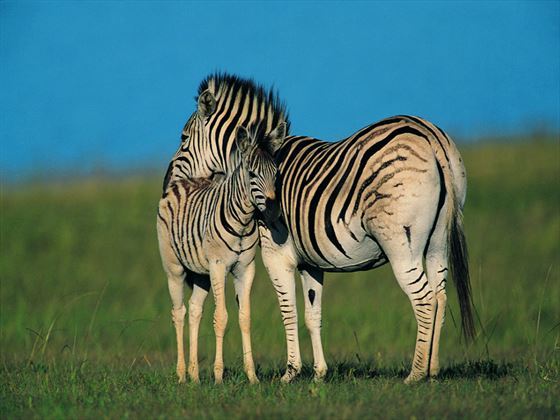 Zebras at Midmar Game reserve, Natal