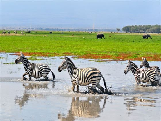 Zebras in a swamp at Amboseli National Park