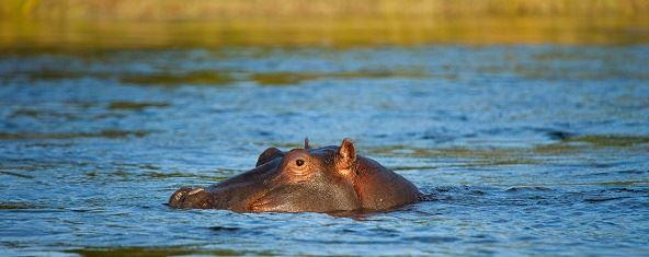 Hippo in Zambezi River