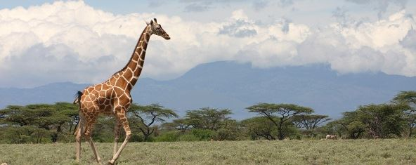 Jenn O'Neill reticulated giraffe in Kenya