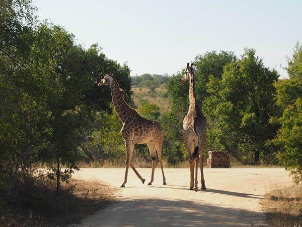 south africa wildlife giraffes