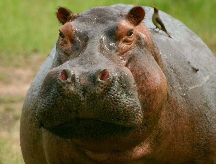 Jenn O'Neill hippo