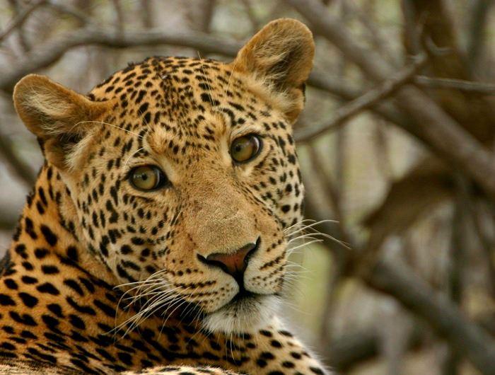 Jenn O'Neill leopard