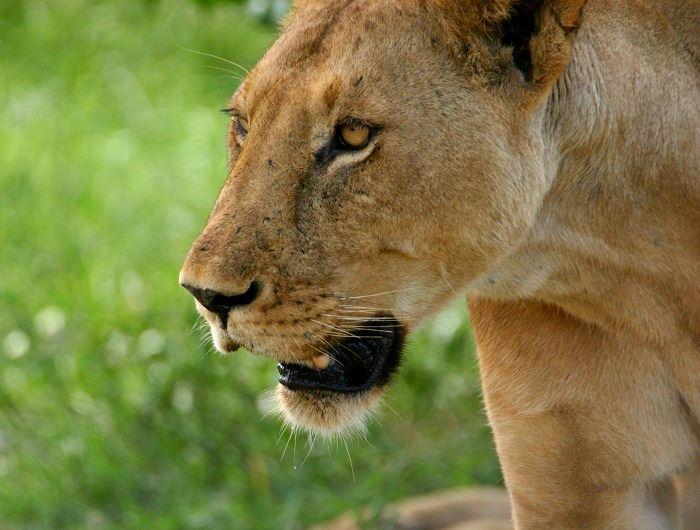 Jenn O'Neill lion